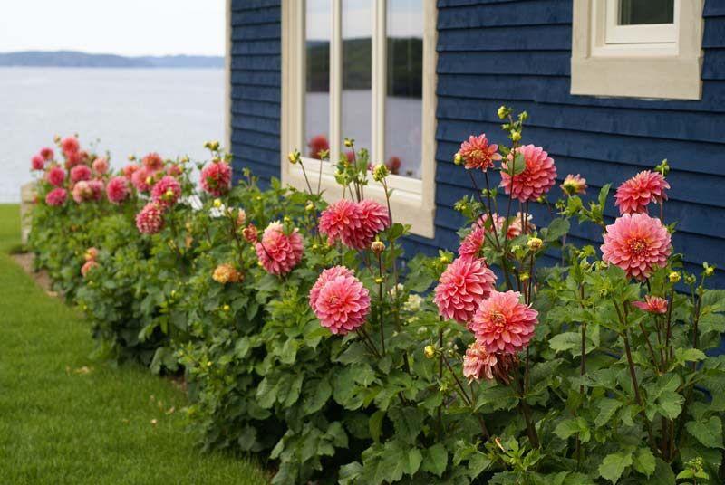 Dahlias, Gardens, Gardening, Flowers, Plants, Garden Advice, January