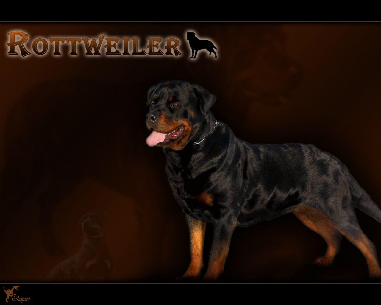 Rottweiler Wallpapers HD Download 1280x1024 Wallpaper 34