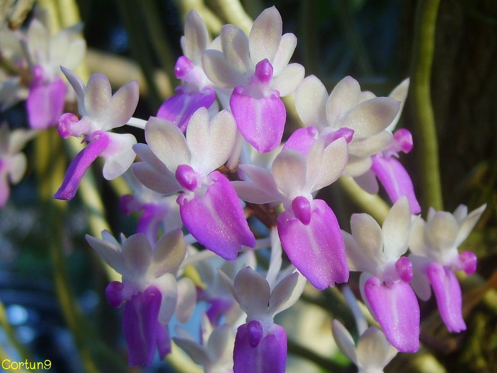 Seidenfadenia mitrata orchids orchids and orchids pinterest