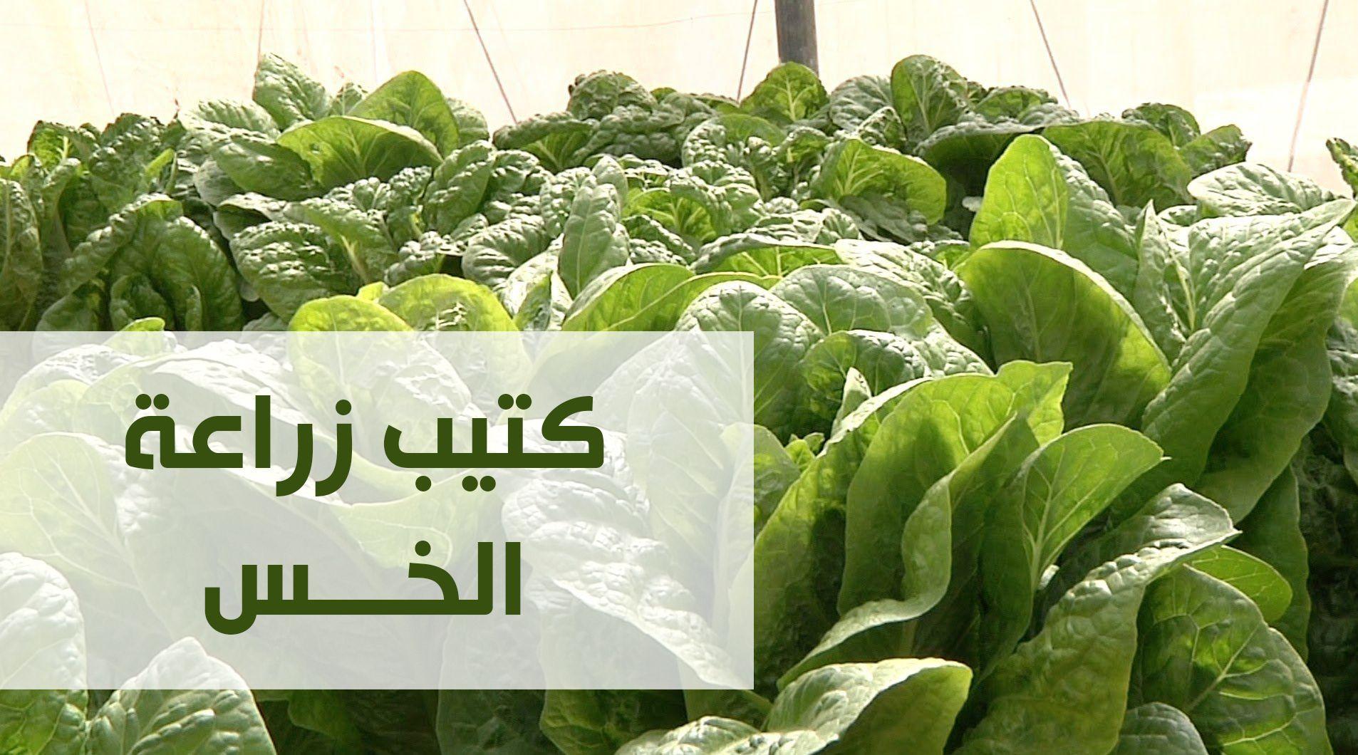 زراعة الخس Vegetables Lettuce Cabbage