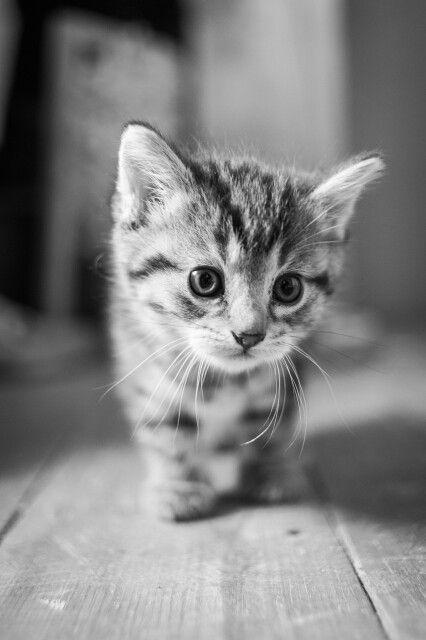 La chaton trop mignon qui marche animaux pinterest - Chat tout mignon ...