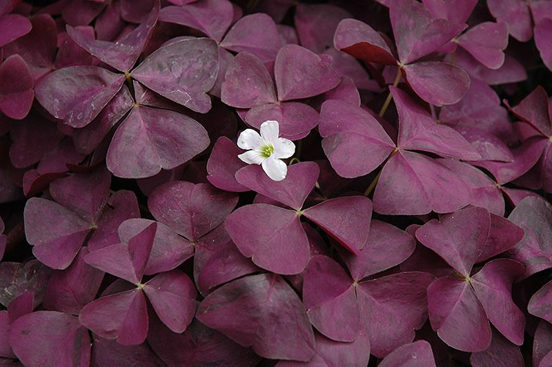Charmed Wine Shamrock Oxalis Charmed Wine At New Garden