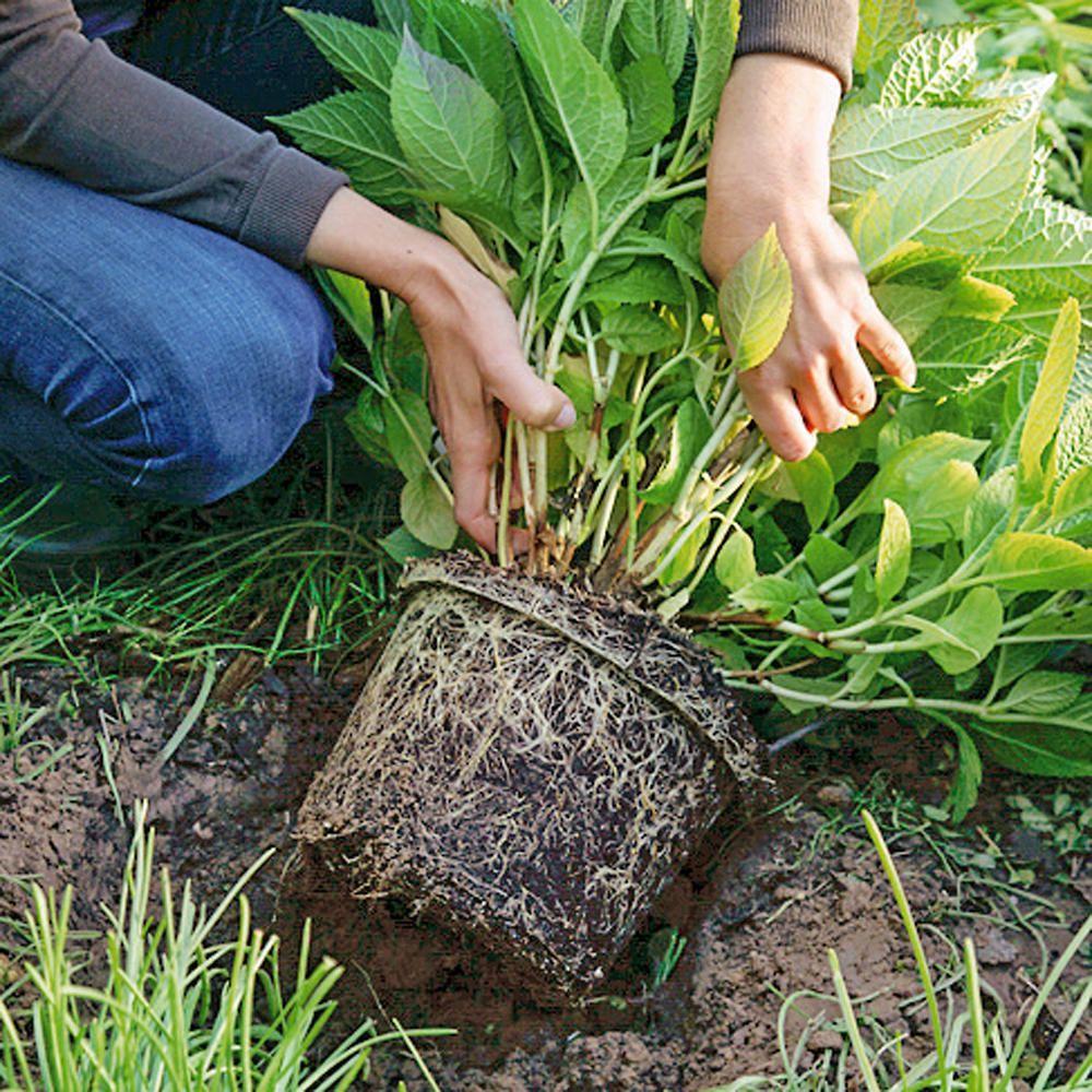 Hortensien pflanzen: Tipps für Beet und Topf