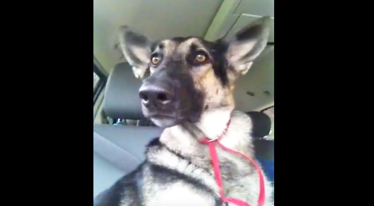 Dance Party You Have To See This German Shepherd S Ridiculous