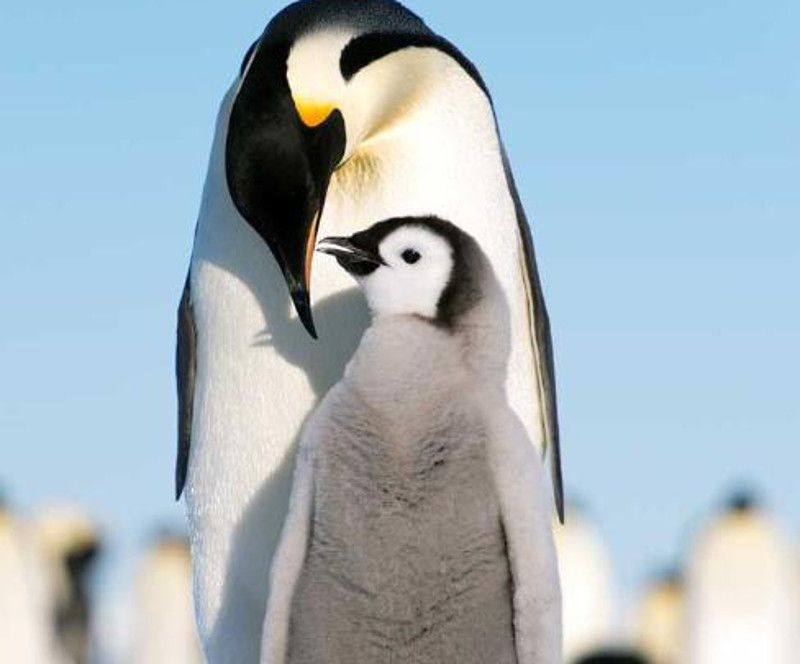 Emperor Penguin | Cuddle Like Your Life Depends on it! 5 Species Who Use Snuggling for ...