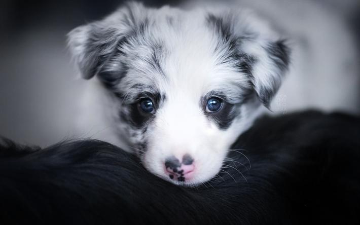 Herunterladen Hintergrundbild Australian Shepherd Hund Kleiner