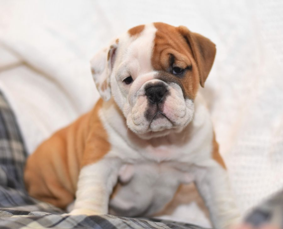 Dottie English Bulldog Puppy For Sale In Holtwood Pa
