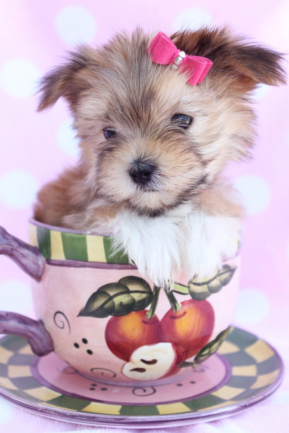 Morkie Puppy For Sale at TeaCups Puppies South Florida