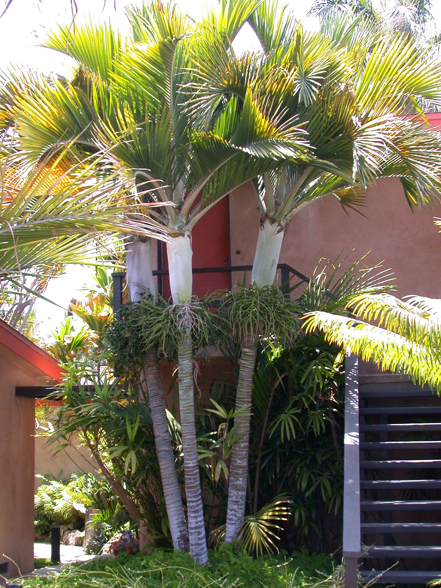 Hedyscepe Canterburyana Palms In