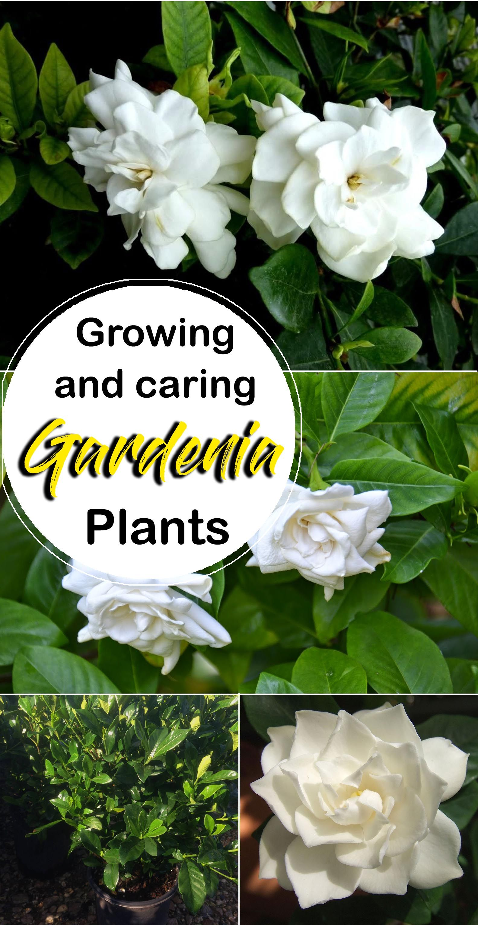 Growing Gardenia Plant Flowers Pinterest Gardenias Plants And