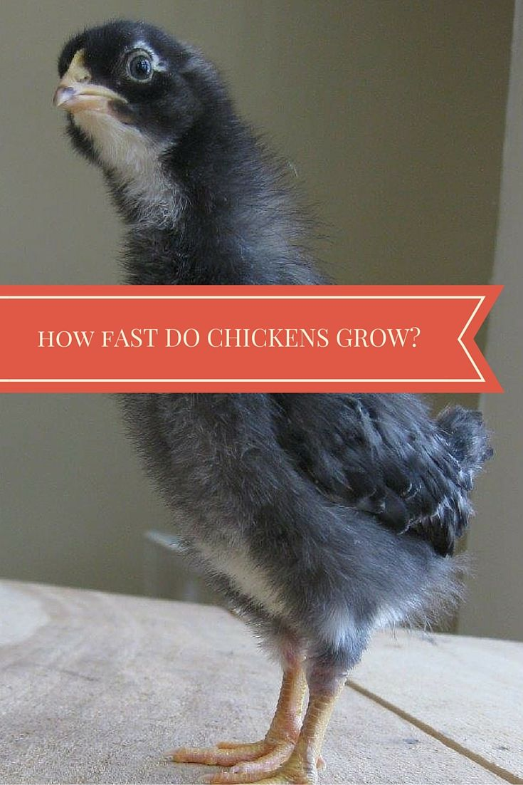 How Fast Do Chickens Grow (when can I move chicks to their ...