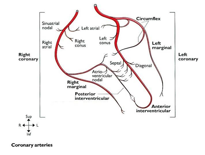 image result for coronary arteries