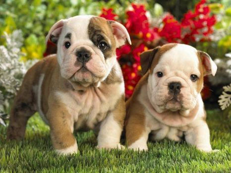 Dog Brothers 63 Pieces Cute Bulldog Puppies English Bulldog Puppies American Bulldog Puppies