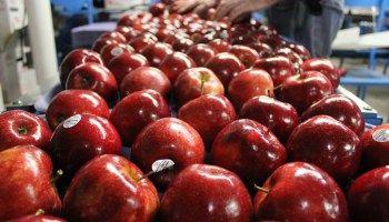 Des pommes, des pommes, encore des pommes.