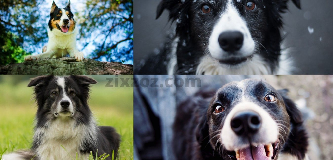Border Collie Training And Tips In 2020 Border Collie Training Border Collie Collie