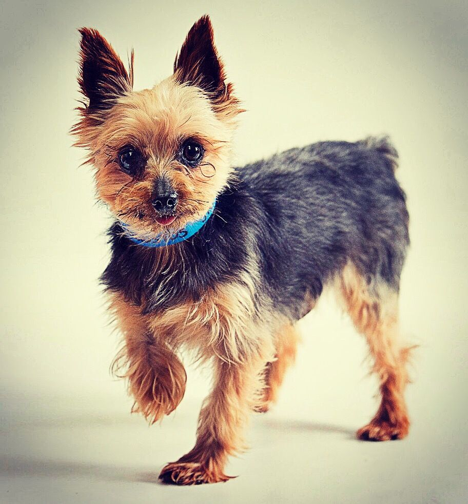 Augustus The Tiny Mighty Yorkshire Terrier Yorkie Puppy Mill