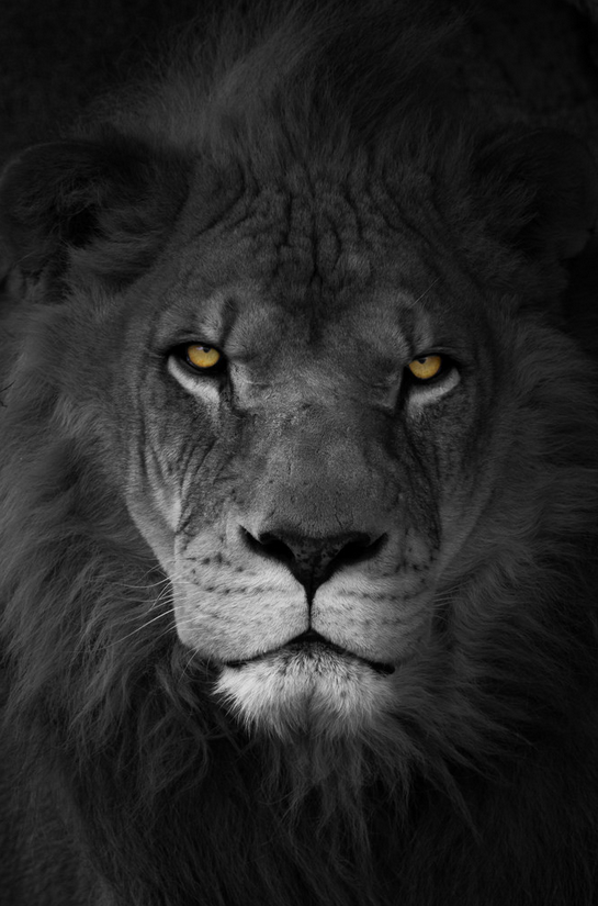 "Flickr on Twitter: ""portrait of a lion (Photo by Marc McDermott, shared in the Flickr Social group) https://t.co/0GkpOTzqhZ https://t.co/ig7IvwPZK2"""
