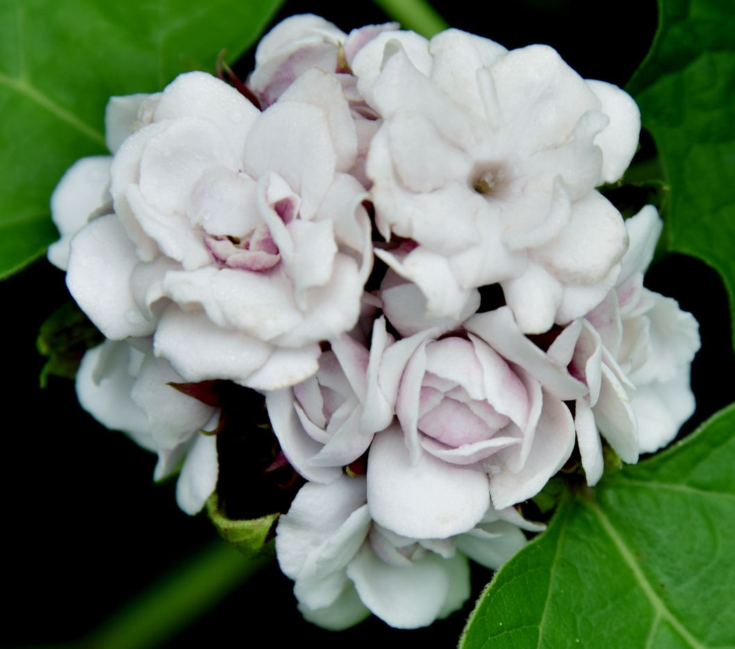 Cashmere Bouquet (Clerodendrum philippinum) A clustered bouquet of ...