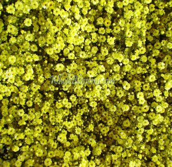 Yellow Wedding Flowers Yellow Wedding Flowers Babys Breath Flowers Babys Breath