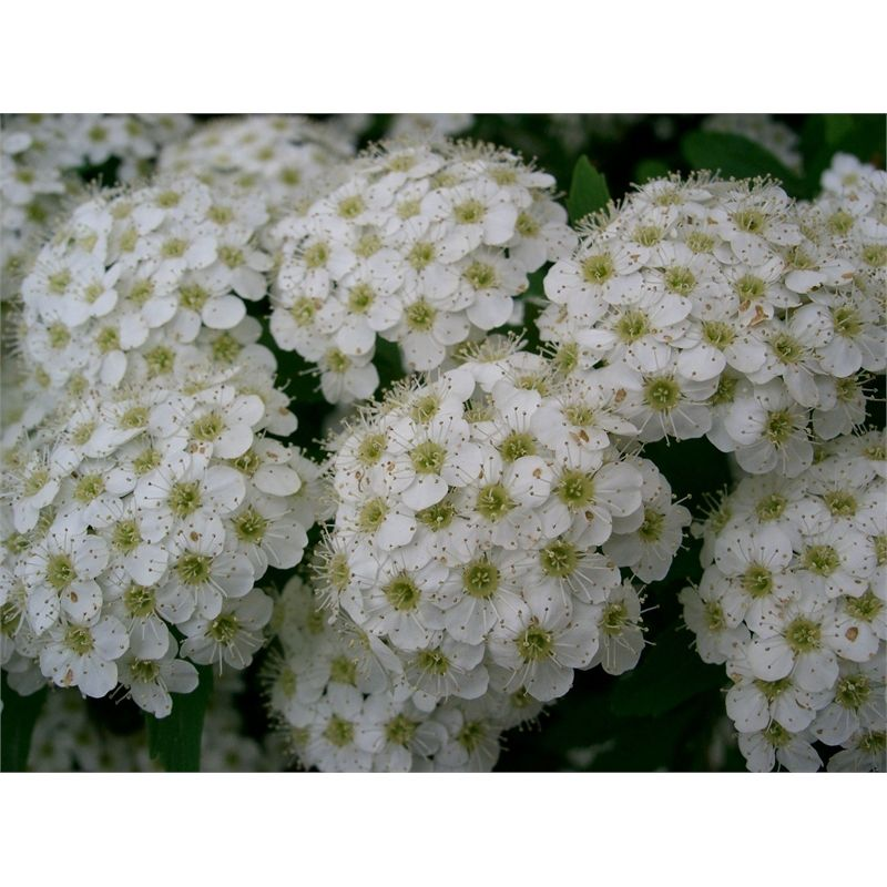 Find Spiraea Cantoniensis Amp 39 May Bush Amp 39 At Bunnings Warehouse Visit Your Local Store For The Widest Range Plants Trees To Plant Planting Flowers