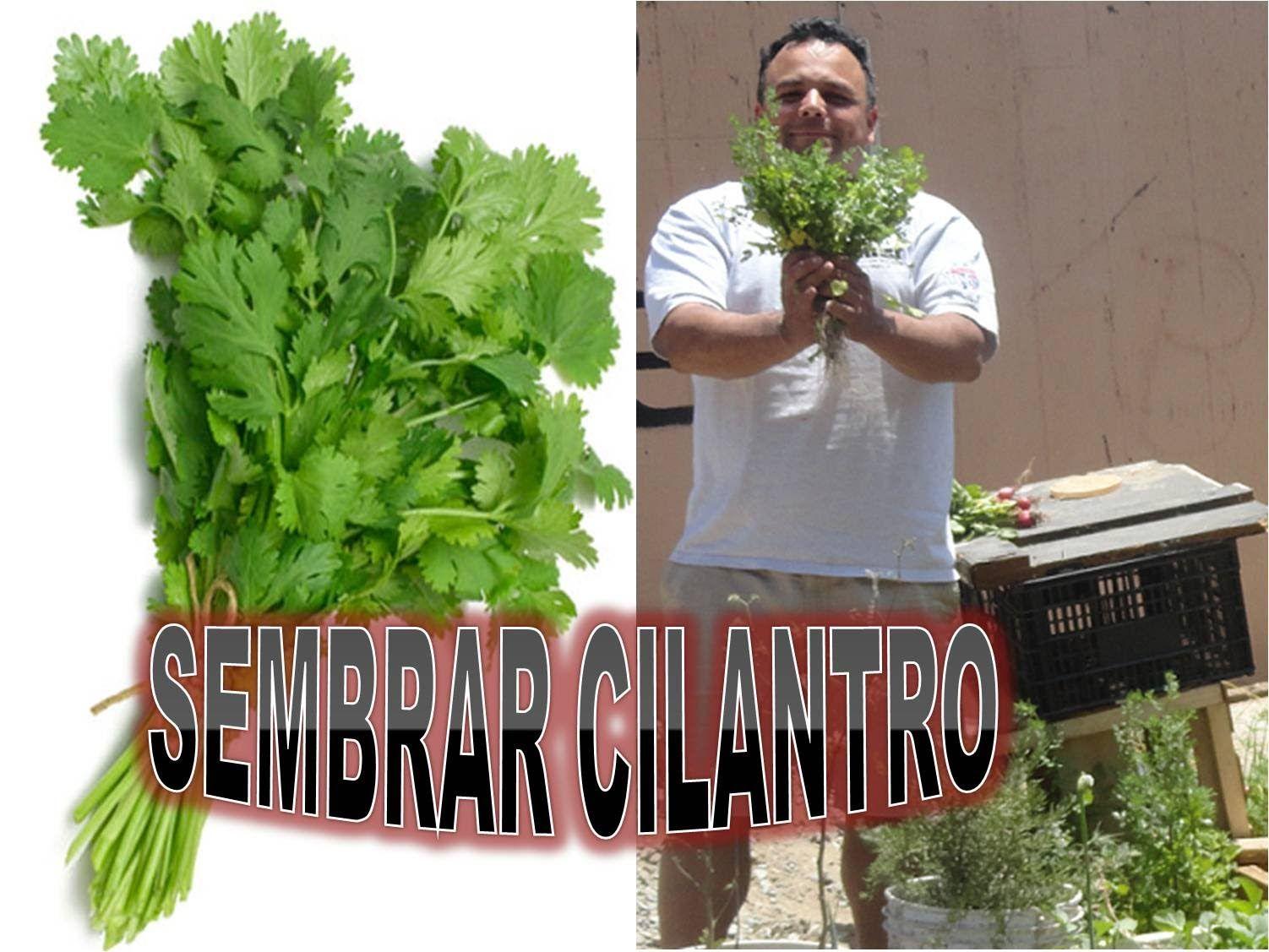 Como sembrar cilantro plantas pinterest como sembrar for Como sembrar plantas ornamentales