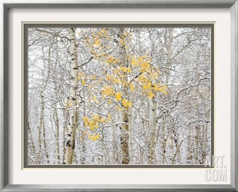 Fall Birch Framed Photographic Print by Andrew Geiger at Art.com