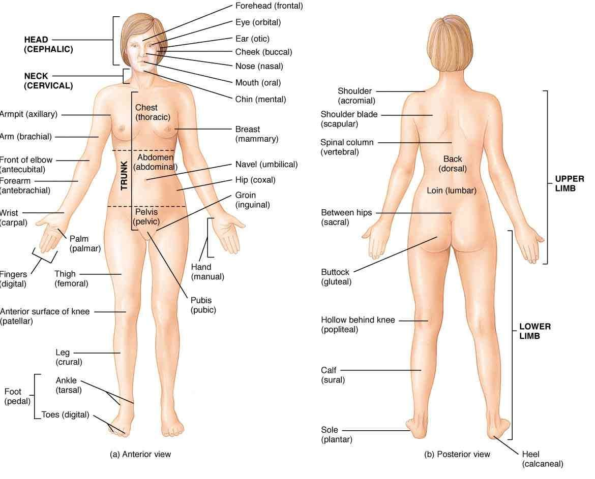 New Human Body Anatomy 63 On what is a hip with Human Body Anatomy ...