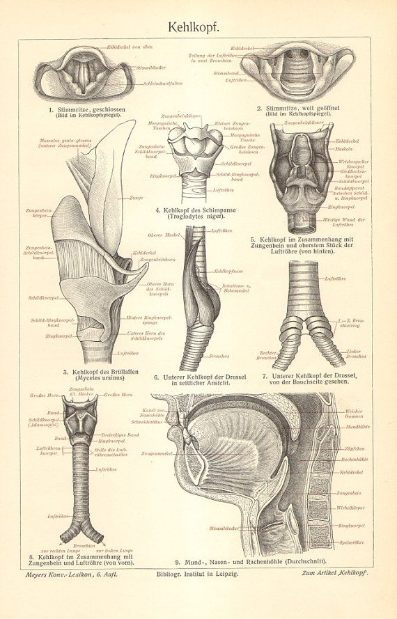 1904 Anatomy of the Larynx or Voice Box by CabinetOfTreasures | Home ...