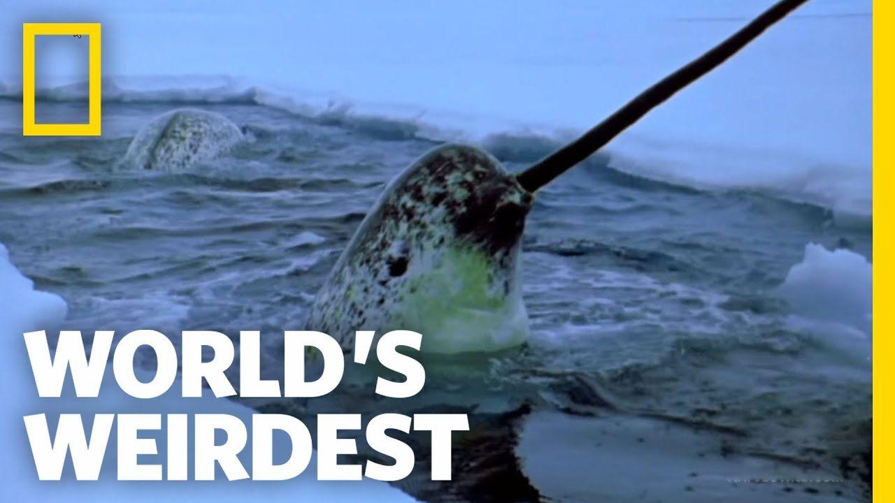 Narwhals World S Weirdest Unusual Animals Narwhal Arctic Animals