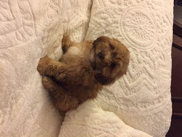 Litter Of 5 Shih Poo Puppies For Sale In Frederick Md Adn 35579 On Puppyfinder Com Gender Male Age 8 Weeks Old Shih Poo Puppies Puppies For Sale Shih Poo