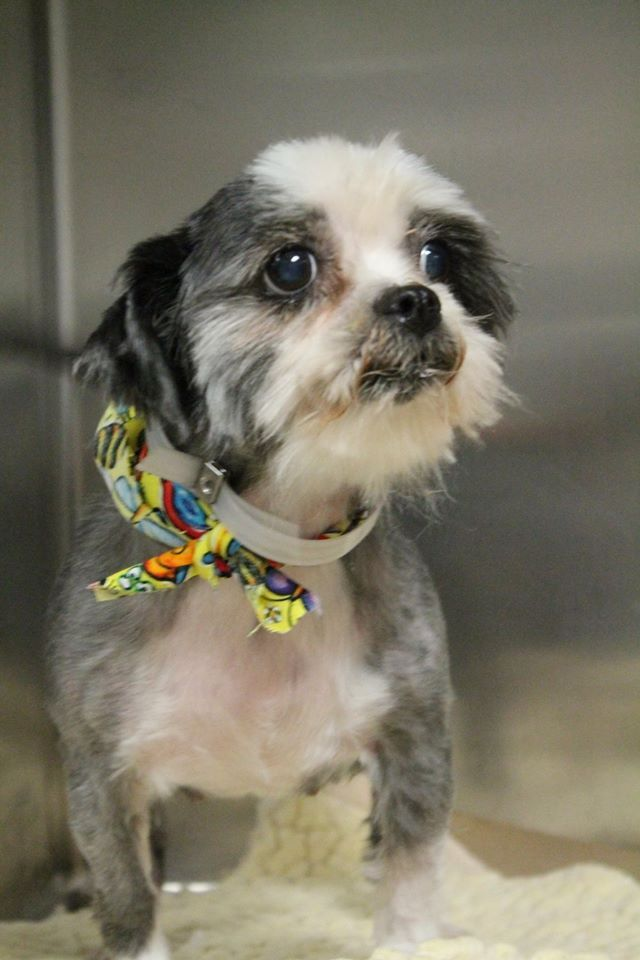 Rescue Only NAME: Gemini  ANIMAL ID: 32147689 BREED: Shih Tzu  SEX: female  EST. AGE: 10 yr  Est Weight: 9 lbs  Health: Heartworm pos- Mammary glands swollen- one small knot- Suspect Mammary Cancer.  Temperament: dog friendly, people friendly- Super adorable and sweet.  ADDITIONAL INFO: RESCUE PULL FEE: $29  Intake date: 7/12  Needs rescue confirmation and pick up by 7/18