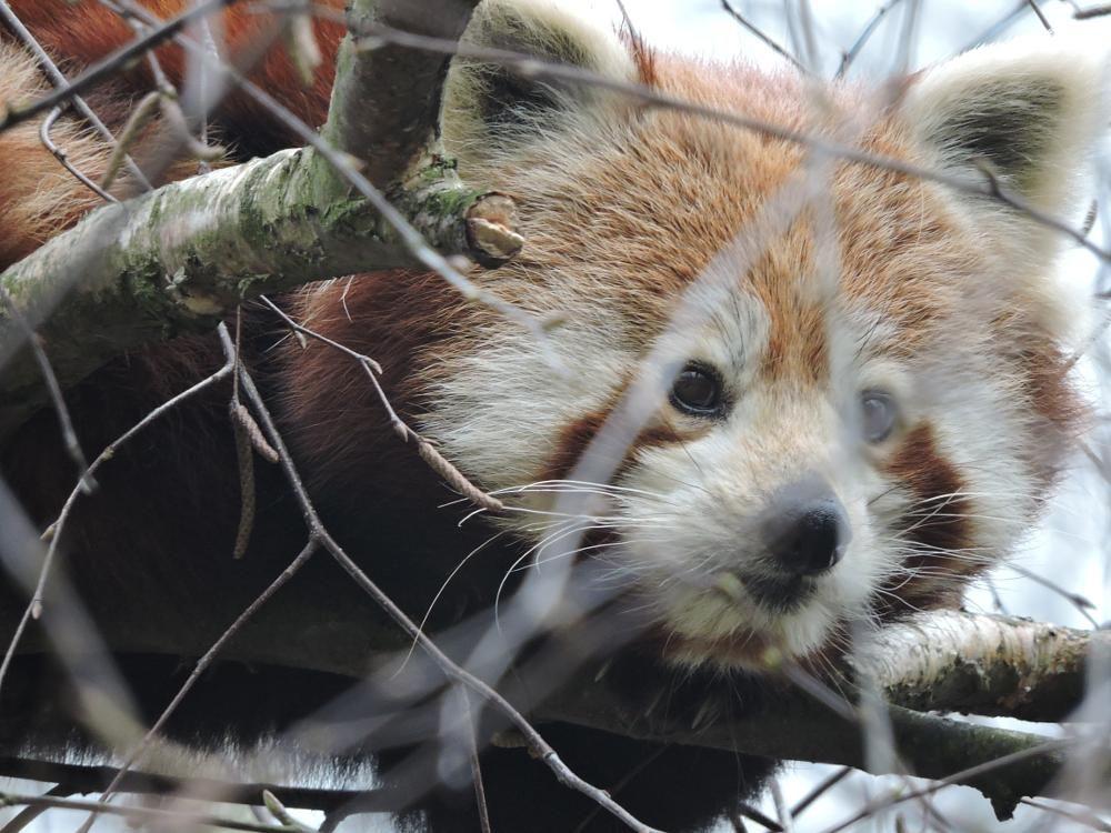 Panda mała by Romuald Statkiewicz