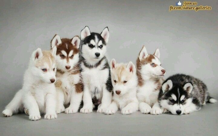 Huskey Huskys One In Every Color Please Cute Husky Puppies