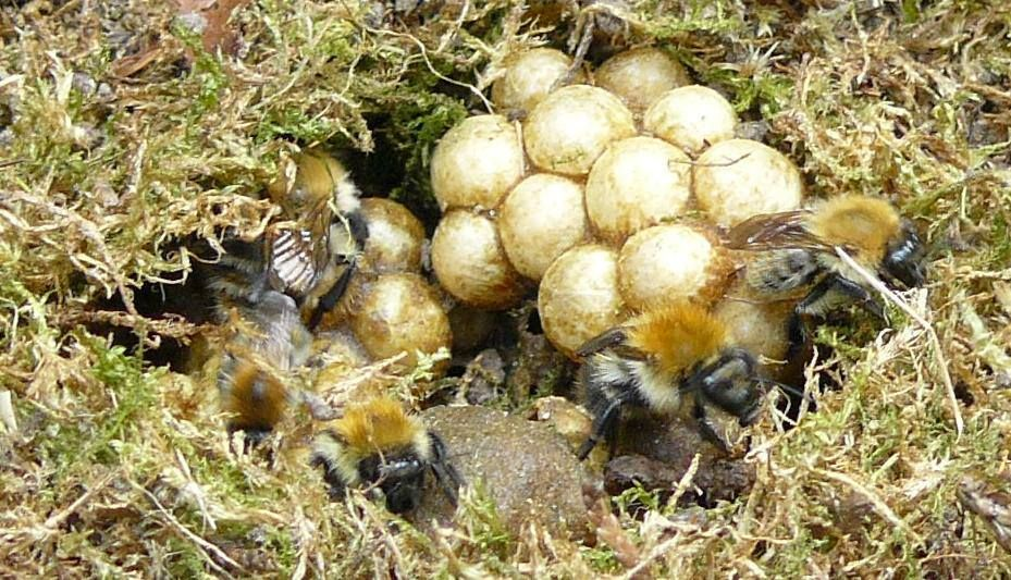 Bumblebees Facts Identification amp Control  Orkincom