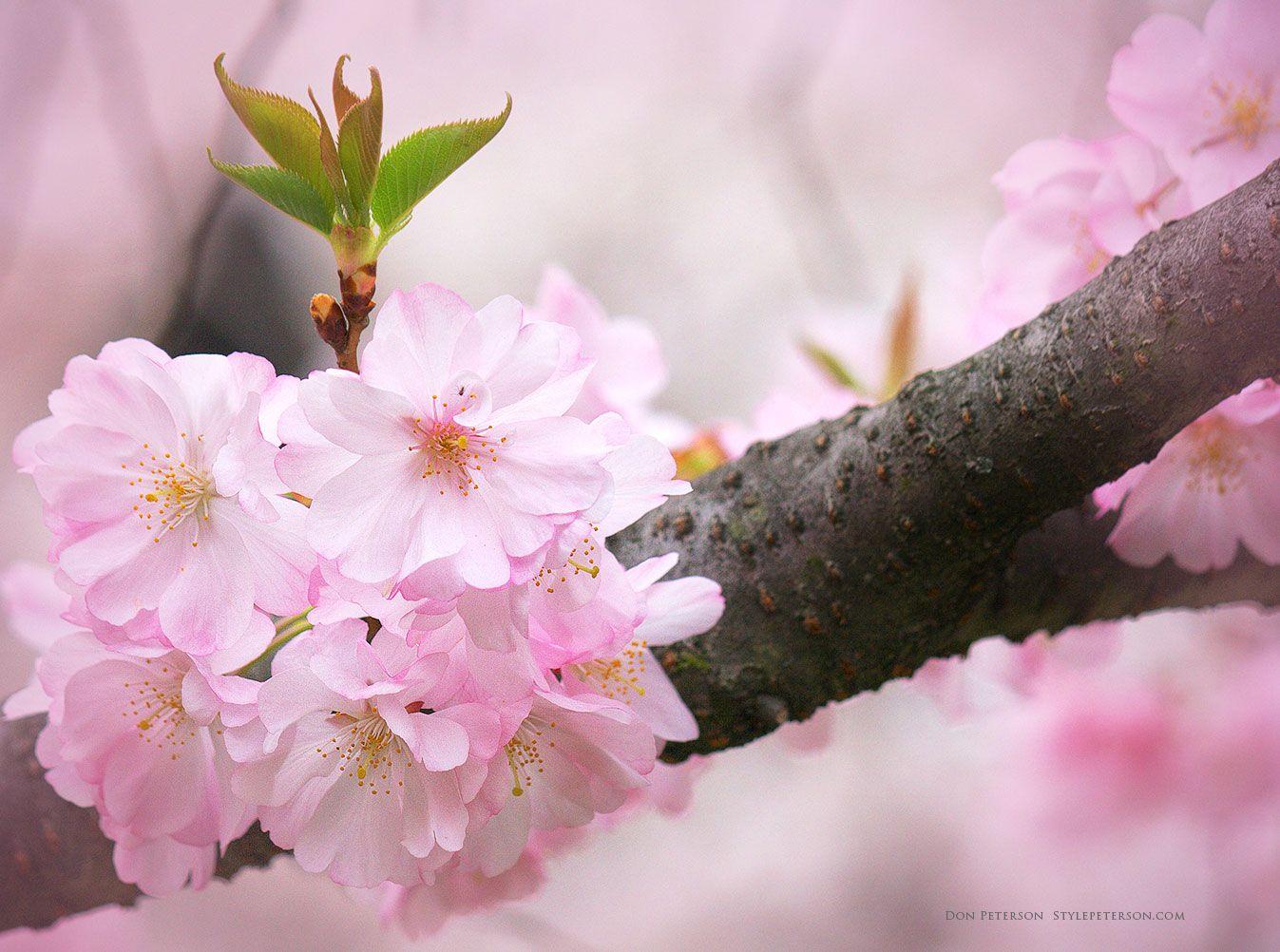 Branch Brook Park Cherry Blossom Festival 2020 Splurgefrugal Com Cherry Blossom Festival Cherry Blossom Cherry Blossom Tree