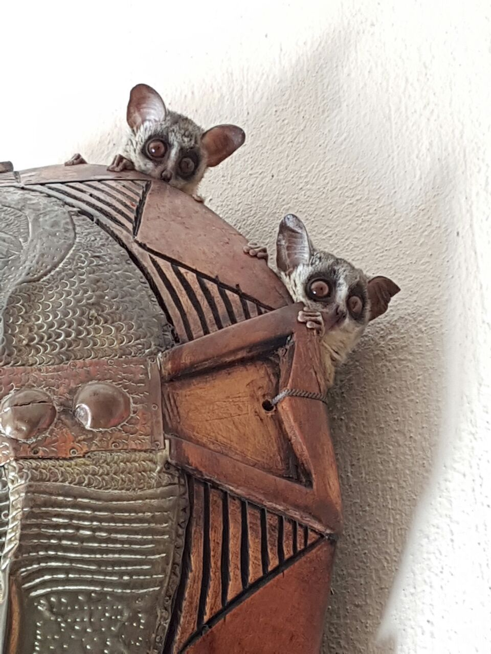 Introducing Yoda and Abu two of our bush babies. http ...