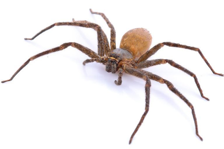 Brown recluse spiders recluse spider brown recluse