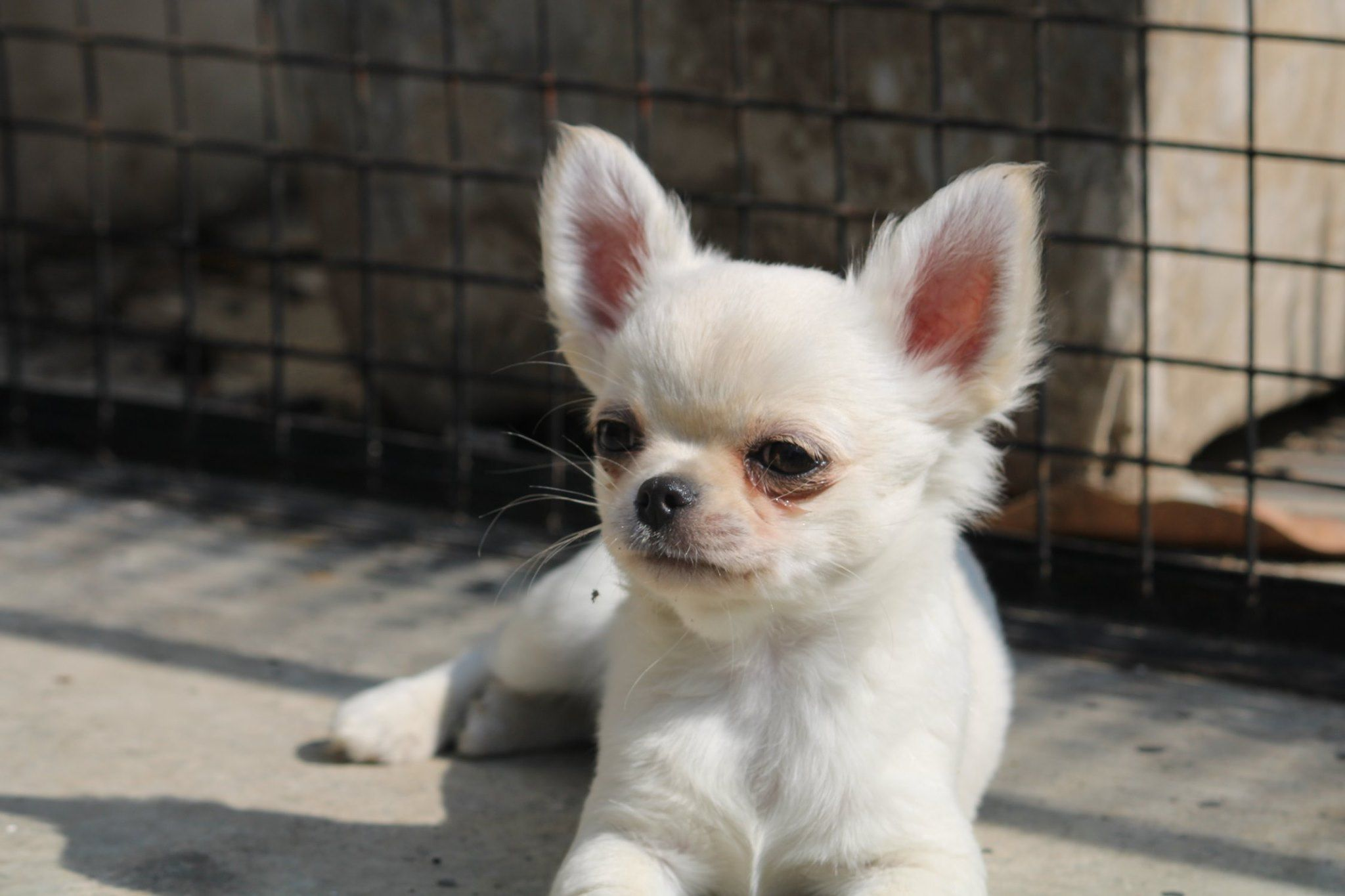 Best Gift For Your Child Adorable Very Affectionate And Beautiful Chihuahua Puppies From Cream Passion Chihua In 2020 Chihuahua Puppies Chihuahua Long Coat Chihuahua