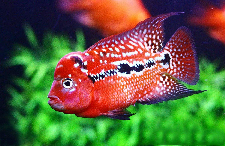 Flowerhorn Fish Sale (Cichlid, Louhan, La Hán) 花罗汉 for