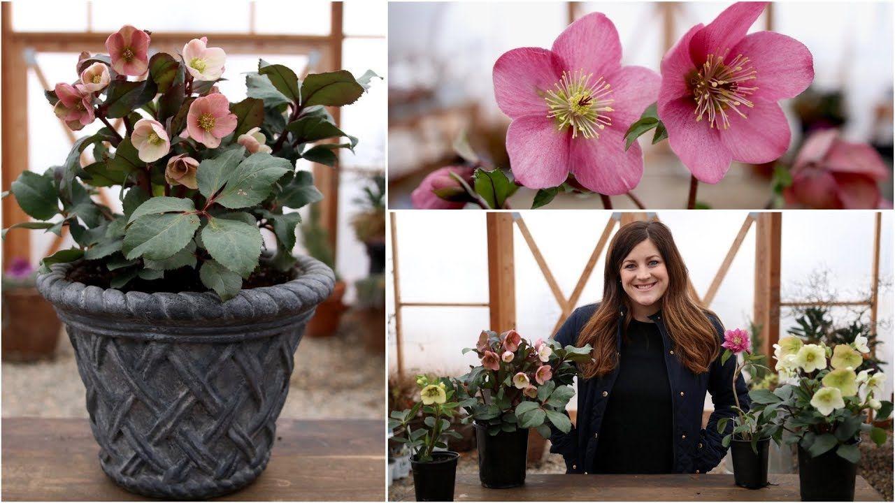 Hellebore Care Guide Garden Answer Spring Planter Garden Plants