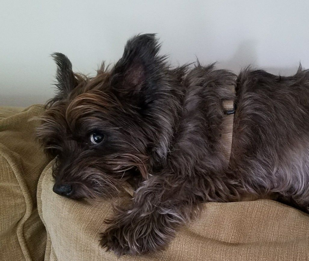 What The Famous Cairn Stink Eye Lol Cairn Terrier Puppies