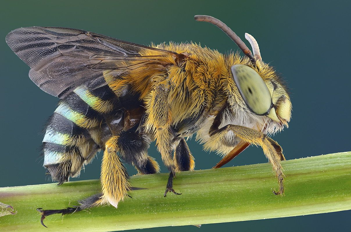 насекомое похожее на пчелу картинки эта программа