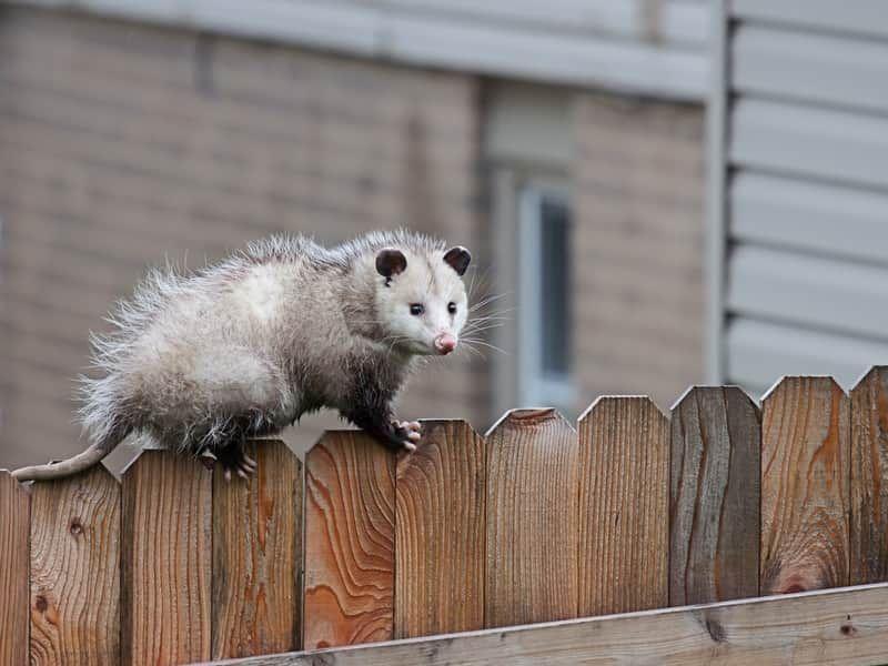 Where Do Opossums Live In The Winter Terminix Possum Facts Opossum Get Rid Of Ticks