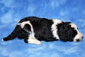 Parti Tri Color Brindle Standard Poodle Puppies For Sale