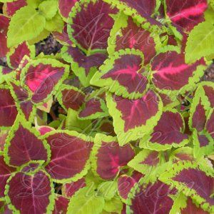 Rainbow Mix Coleus comes shade loving plant has heart shaped leaves with vibrant color variations. Colors include burgundy, red, green, pink, mauve, chartreuse and others.