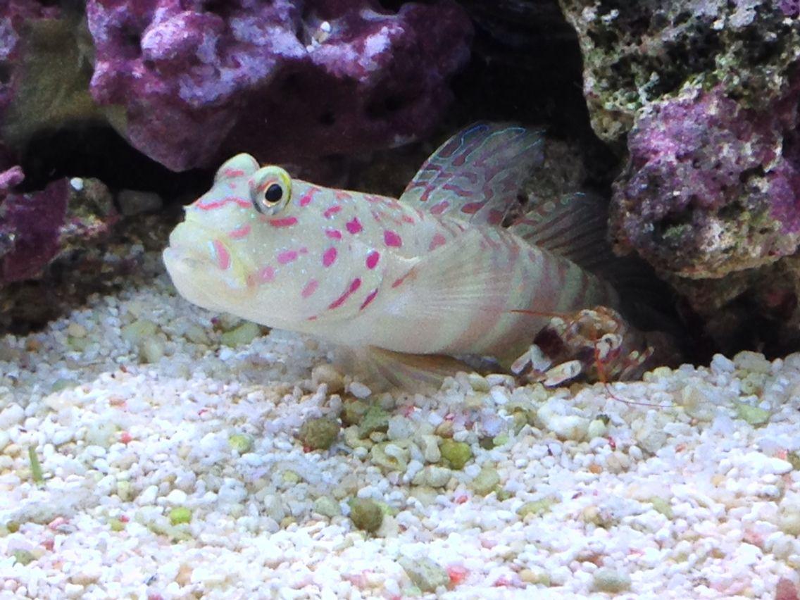 Pink Spotted Goby Tiger Pistol Shrimp Pet Training Family Pet Coral Reef Aquarium