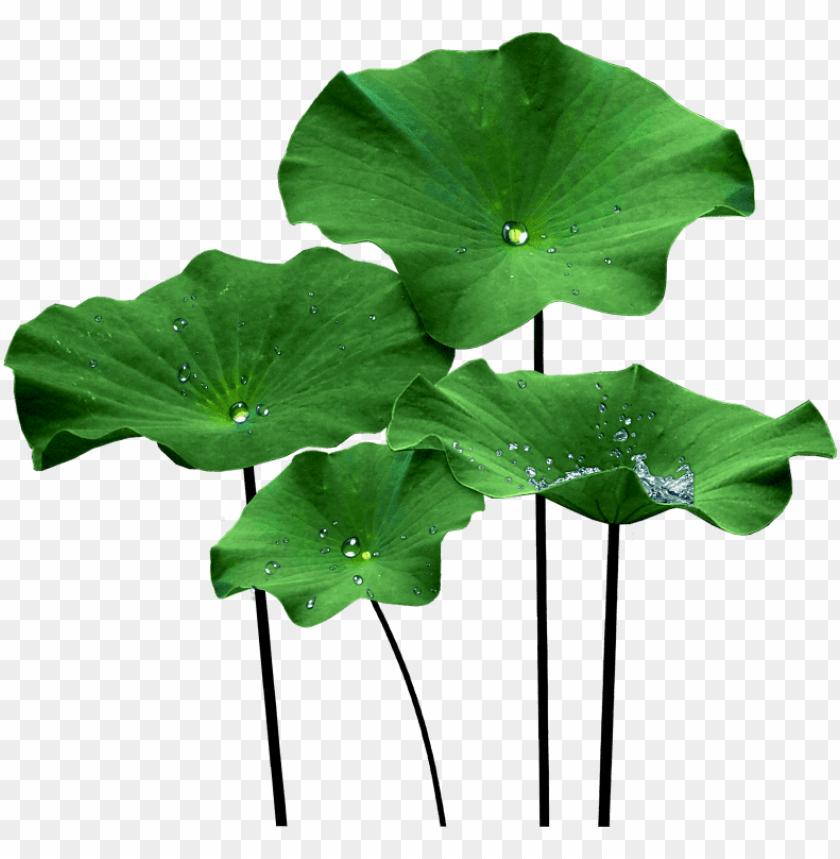 Lotus Leaf Png Lotus Leaf Png Image With Transparent Background Png Free Png Images Flower Png Images Plant Texture Leaves