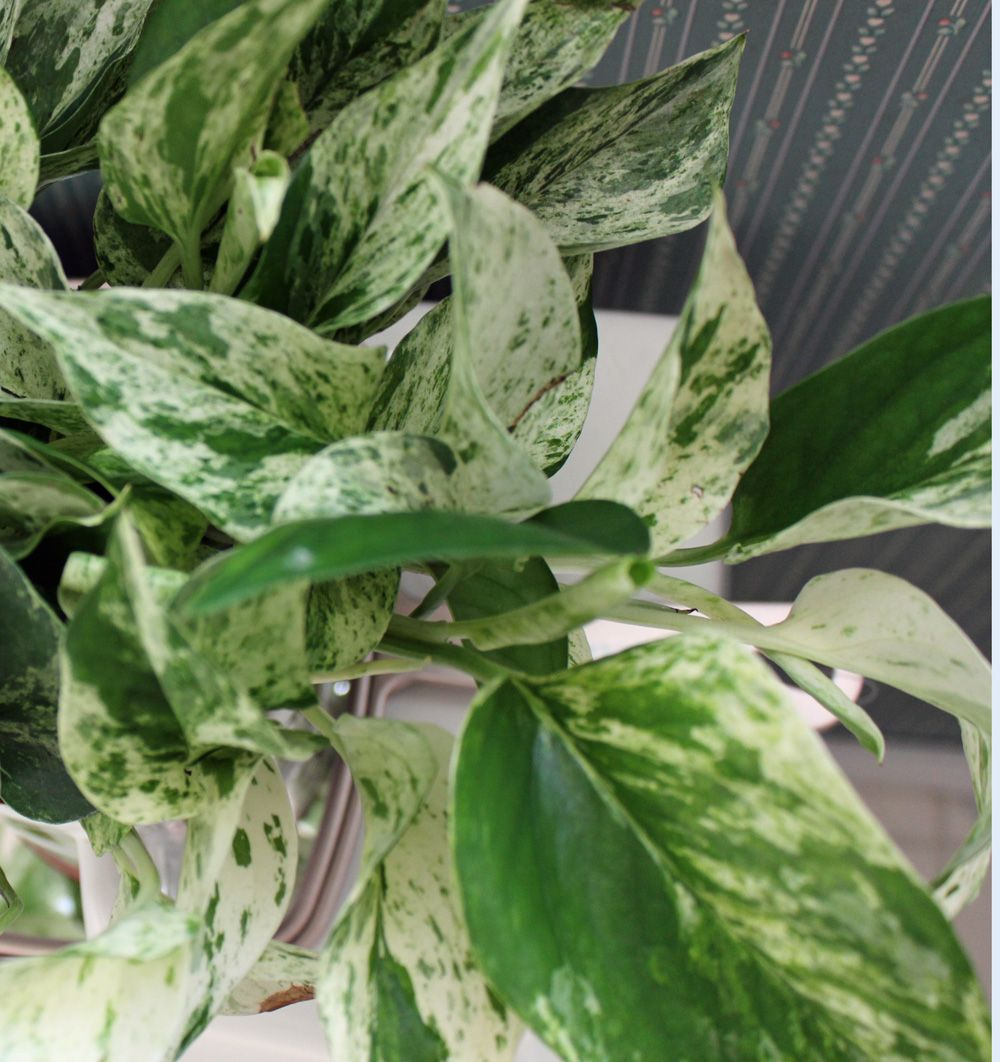 pothos marble queen houseplant scindapsus aureus or epipremnum aureum devils ivy money. Black Bedroom Furniture Sets. Home Design Ideas