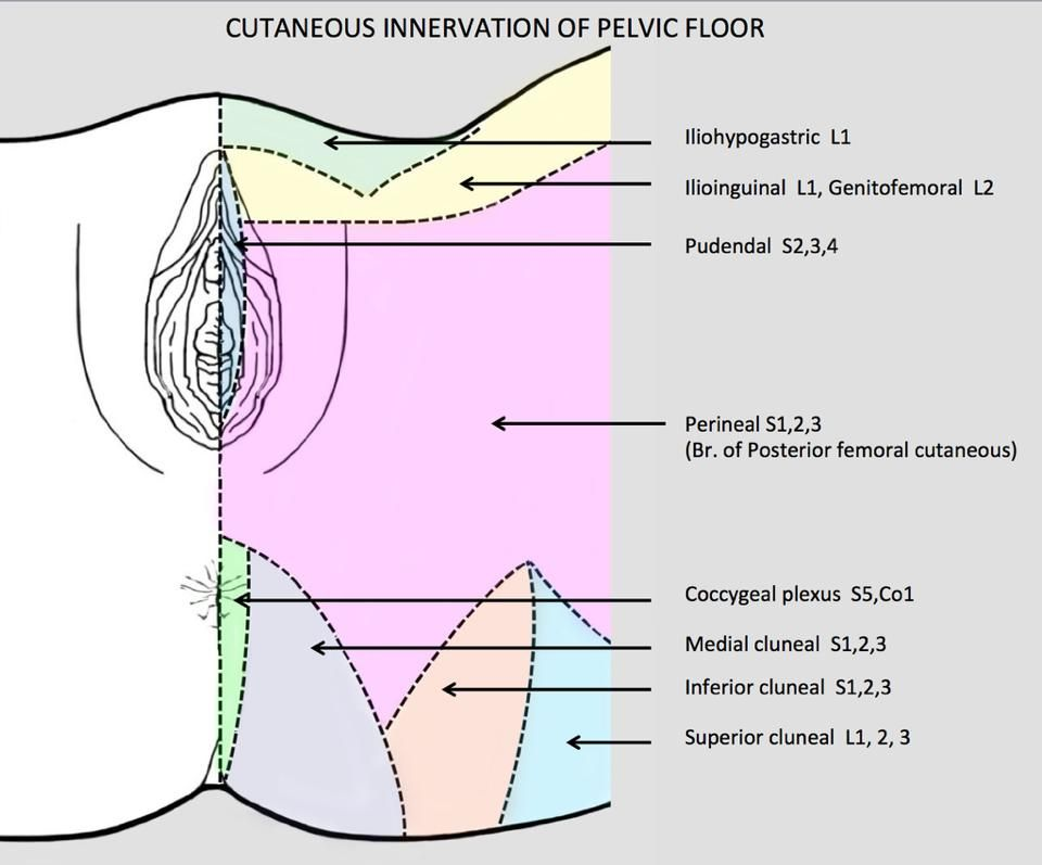 Cutaneous Innervation Of The Female Pelvic Floor Courtesy Of Diane