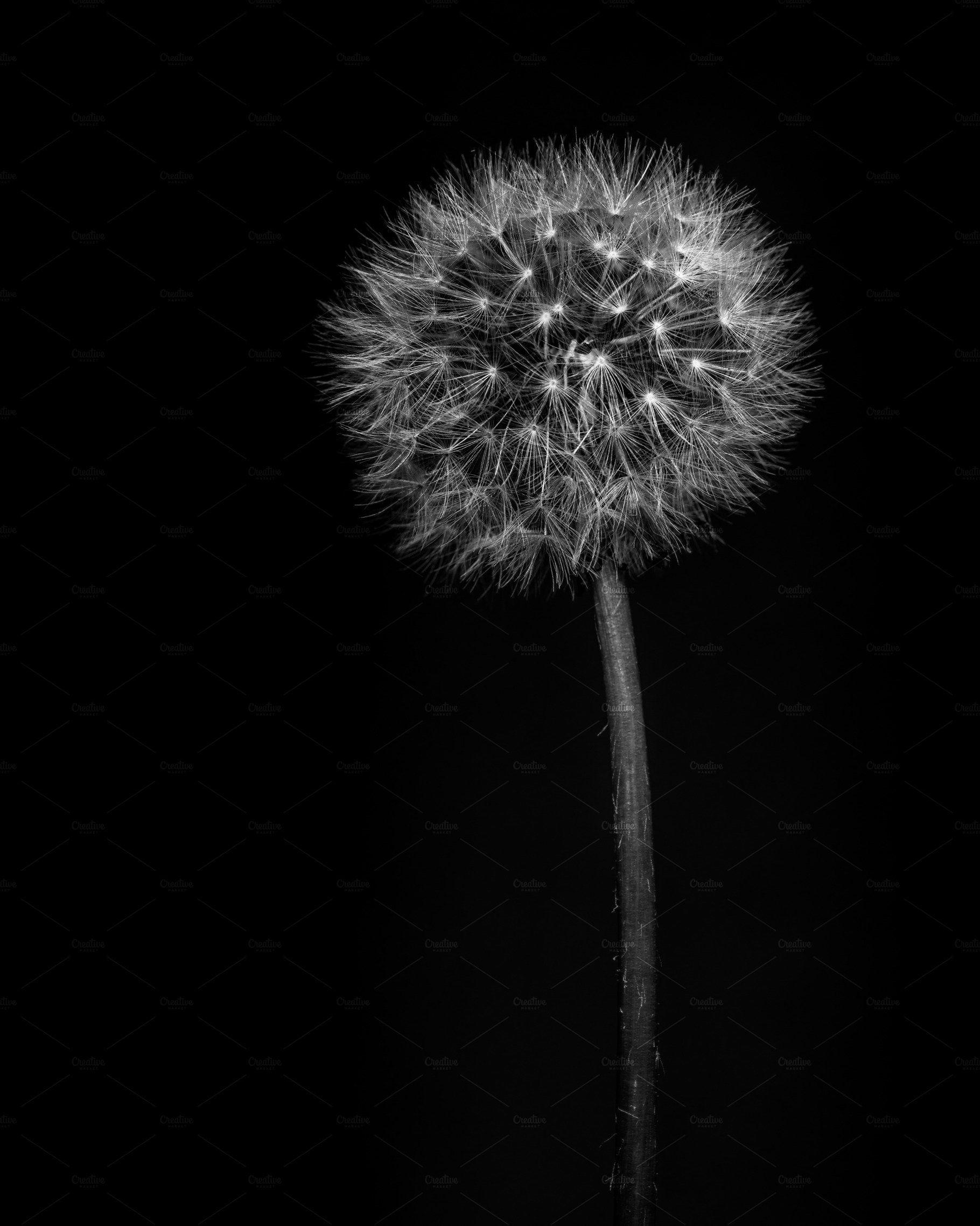 Black And White Dandelion In 2020 White Dandelion Dandelion Black And White